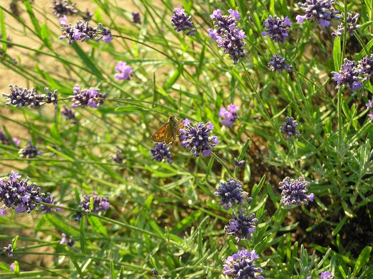 lavender herbs plant free photo