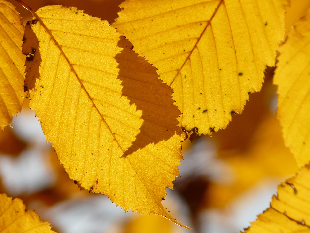leaf,leaves,autumn,hornbeam,carpinus betulus,white beech,birch greenhouse,betulaceae,golden autumn,golden october,october,forest,golden,bright,sun,back light,colorful,color,free pictures, free photos, free images, royalty free, free illustrations, public domain