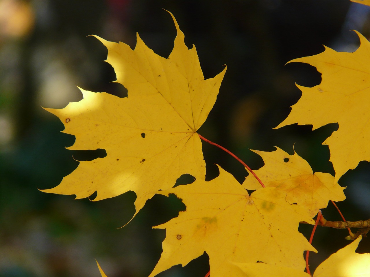 leaf leaves autumn free photo