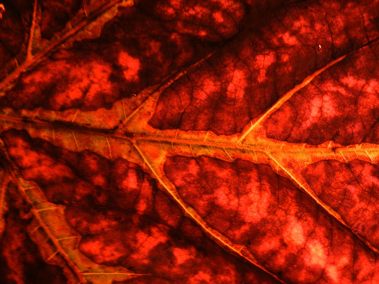 leaf plant red free photo