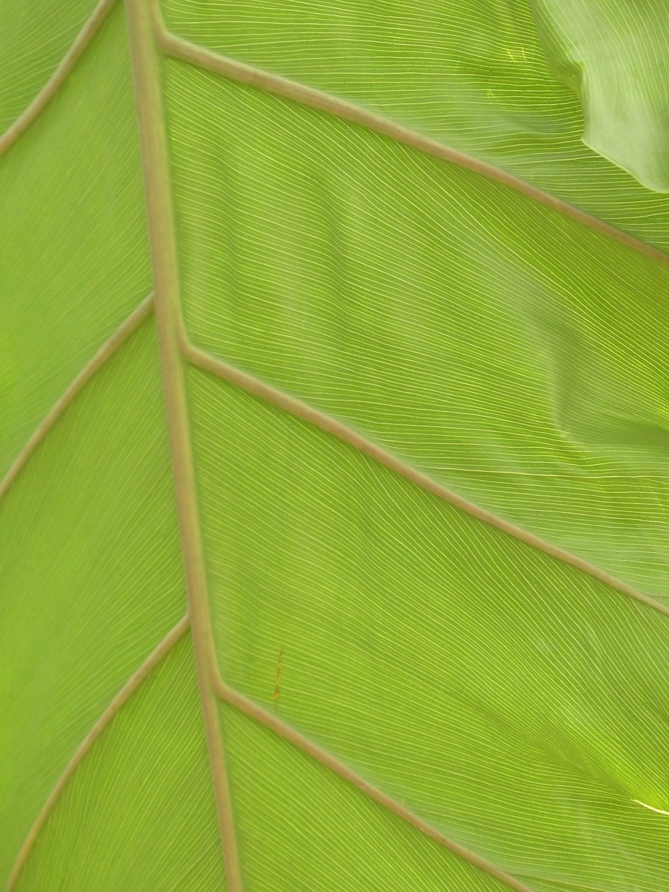 leaf veins leaf large free photo