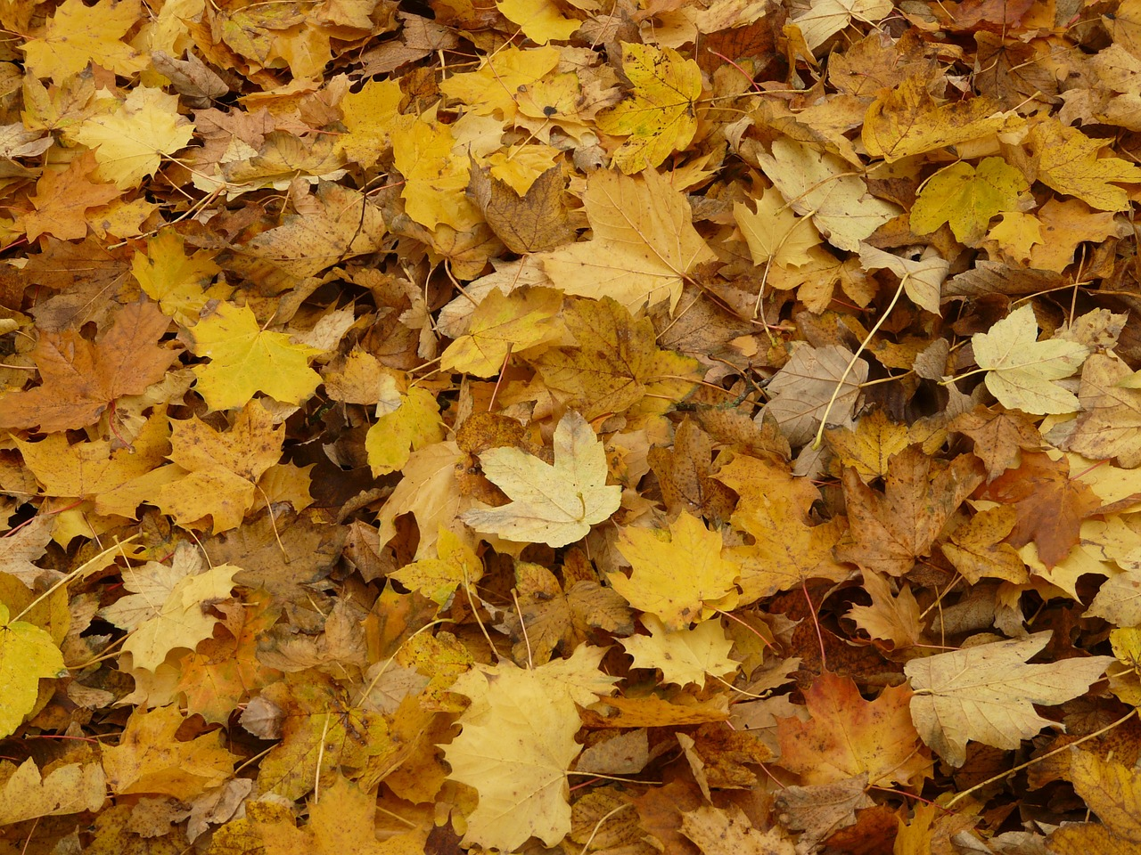 leaves fall foliage maple free photo