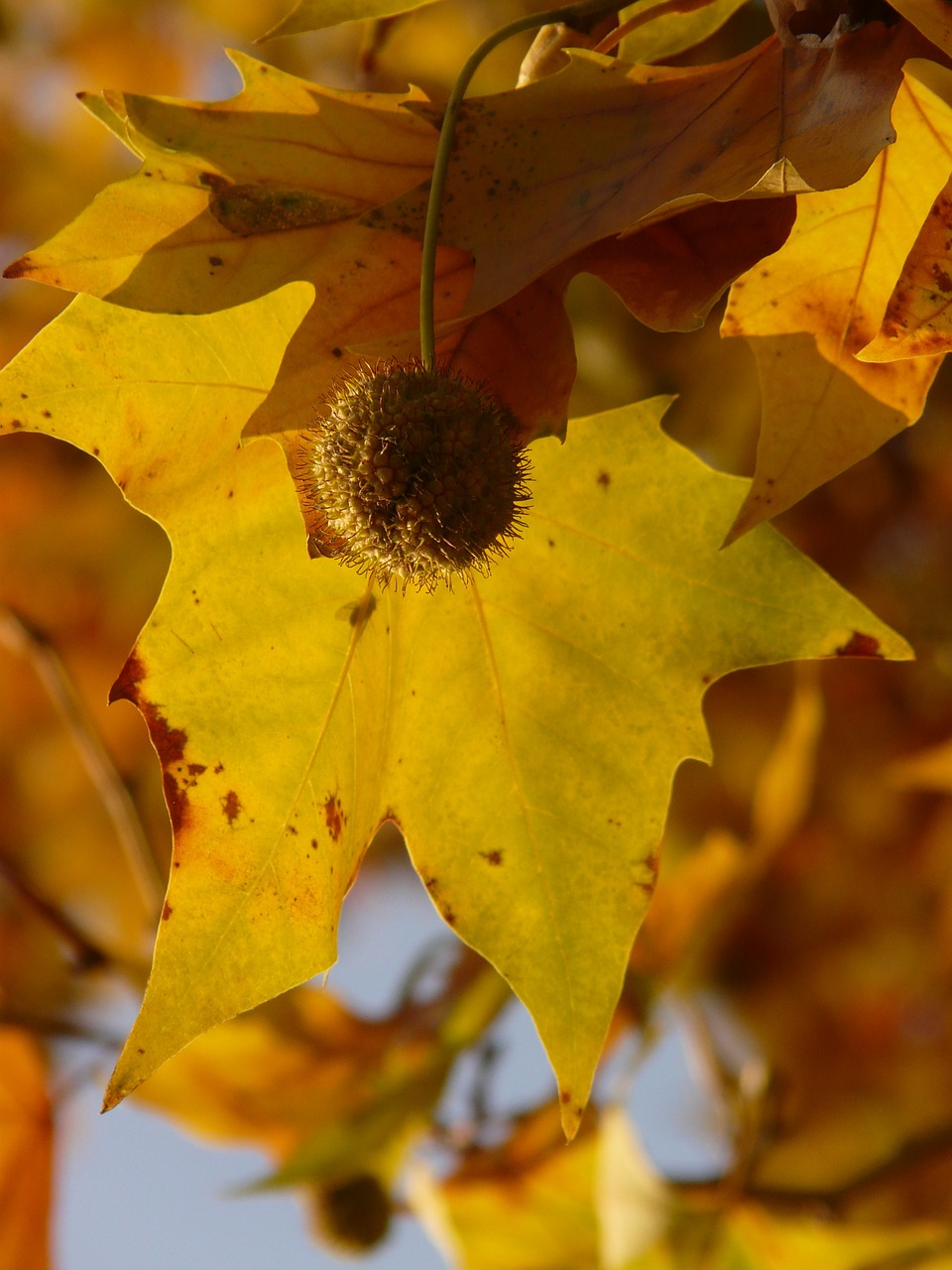 leaves maple leaved plane bastard plane free photo
