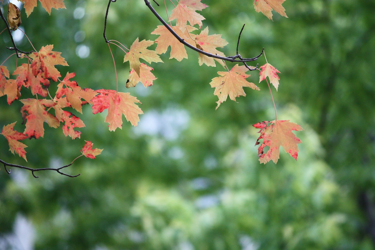 leaves tree red free photo