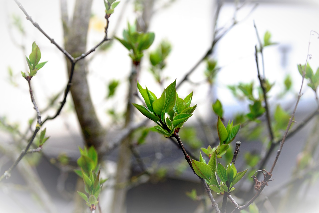 leaves  green  lilac tree buds free photo