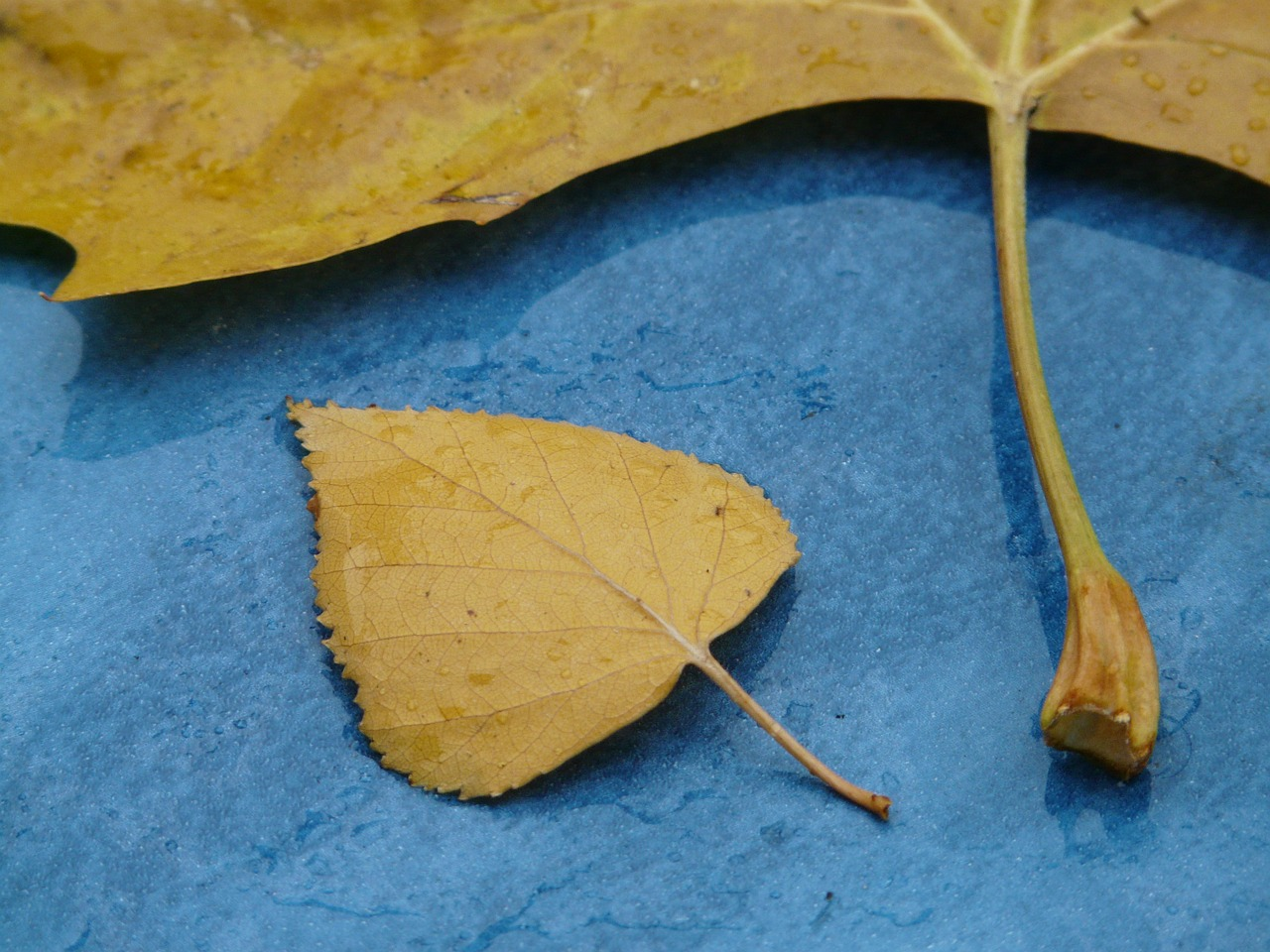 leaves size comparison stalk free photo