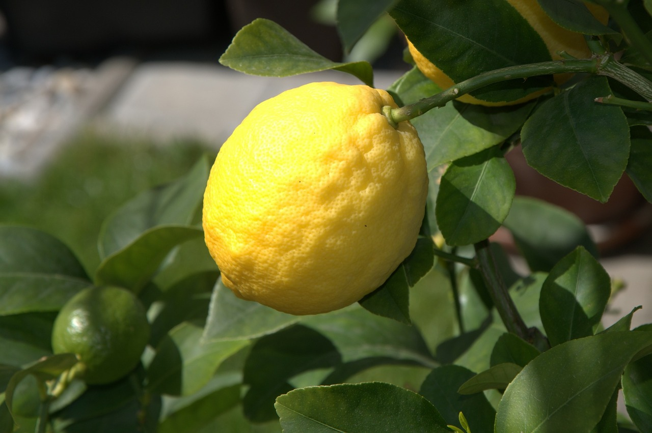 lemon citrus fruit fruit free photo
