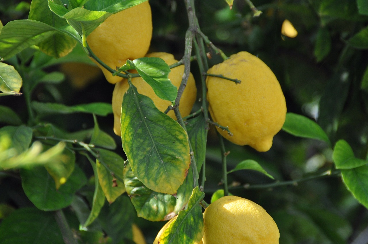 lemons plant fruits free photo