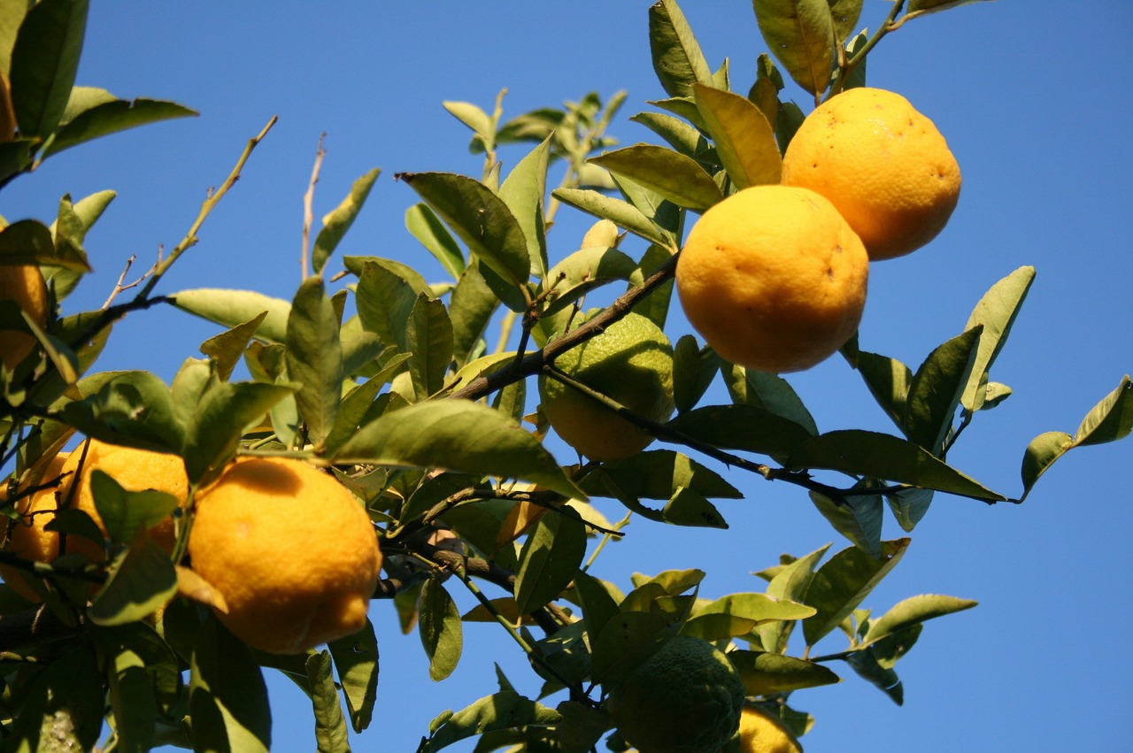 lemons,fruit,citrus,rounded,fresh,yellow,branch,green leaves,fragrant,blue sky,sunlight,free pictures, free photos, free images, royalty free, free illustrations, public domain