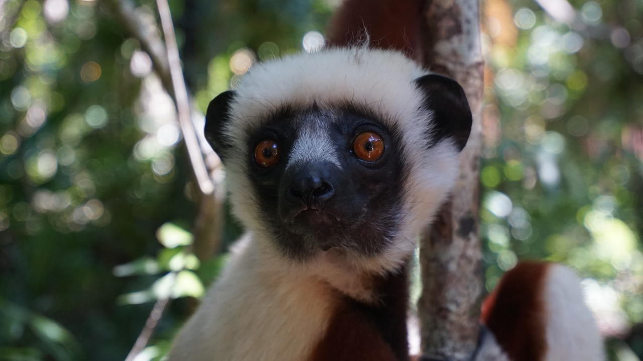 lemur face forest free photo