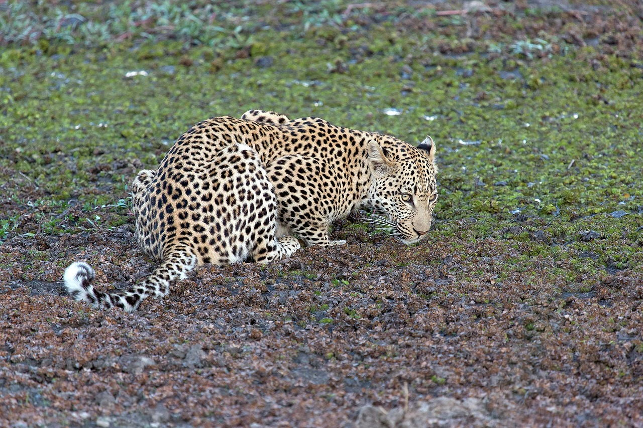 leopard,animal,predator,panthera pardus,big cat,stains,free pictures, free photos, free images, royalty free, free illustrations, public domain