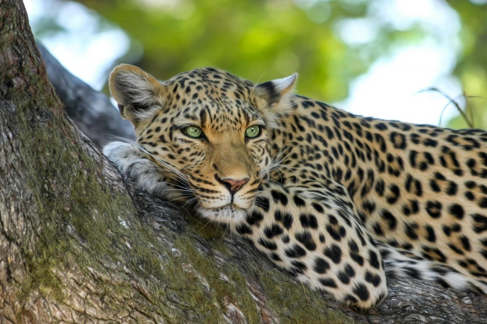 Leopard,big cat,feline,portrait,wildlife - free image from needpix.com