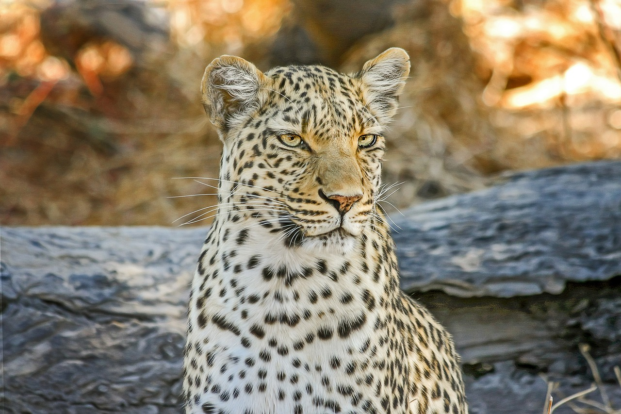leopard africa safari free photo