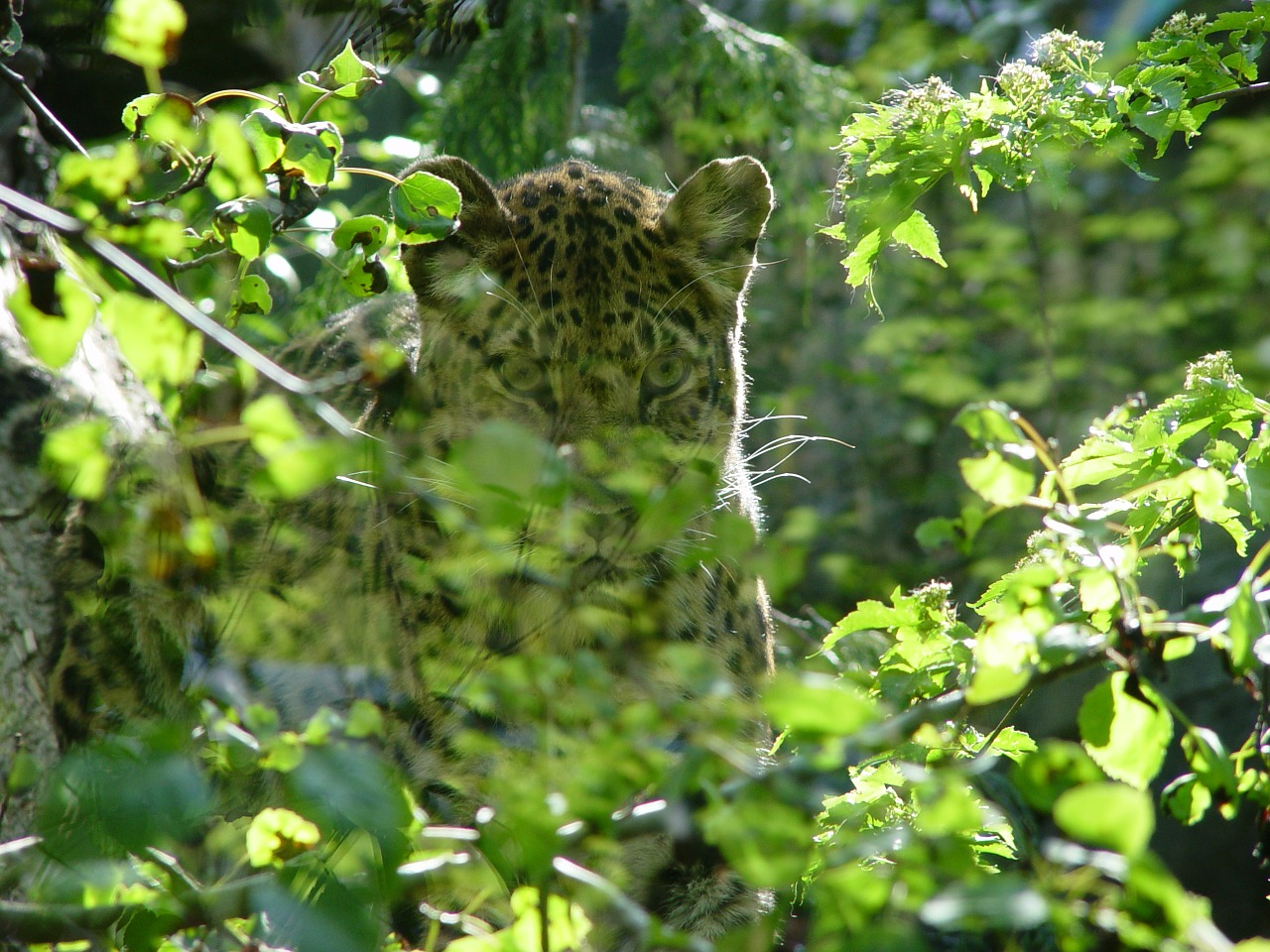 leopard animal nature free photo