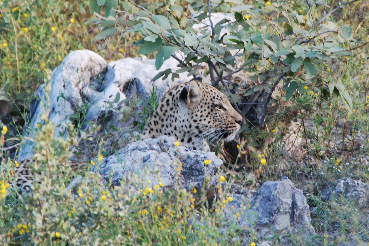 leopard concerns animal free photo