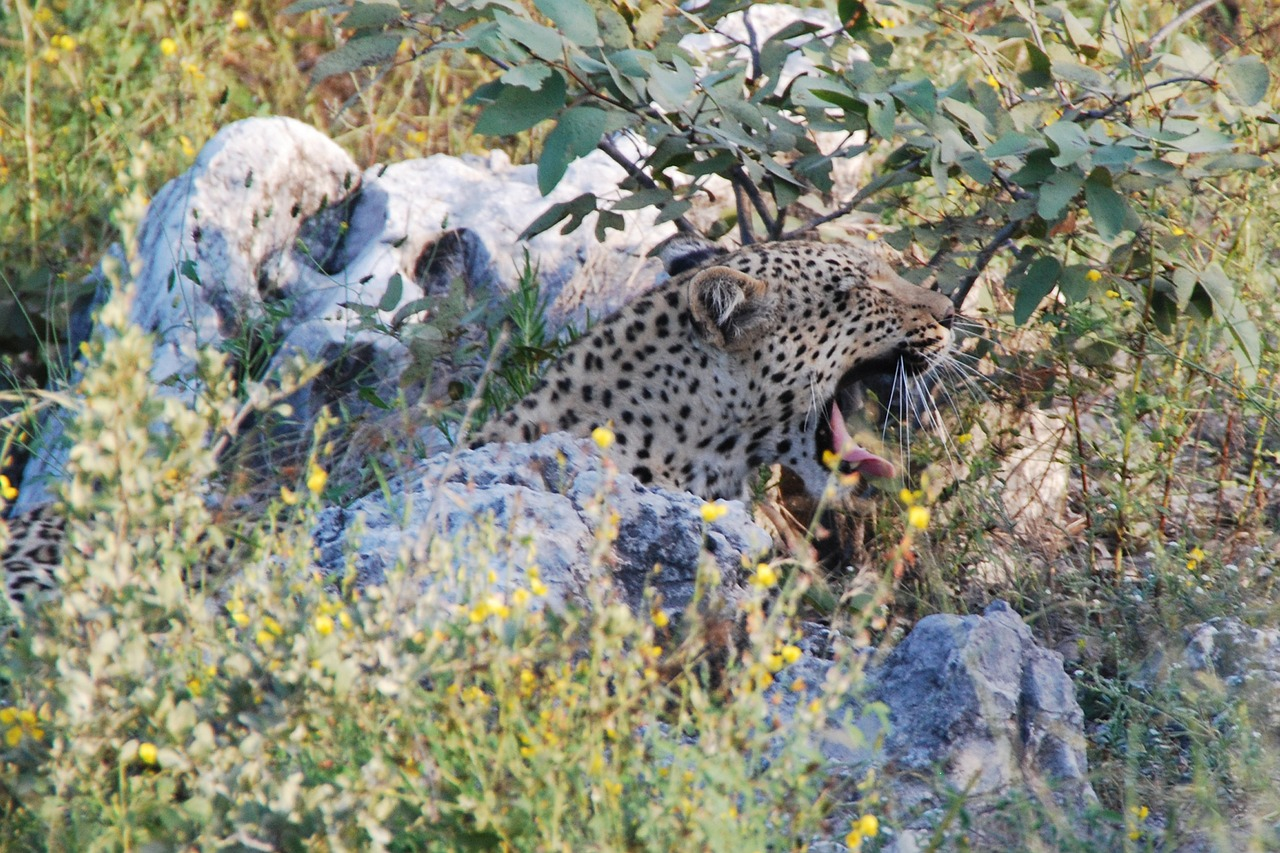 leopard yawn tired free photo