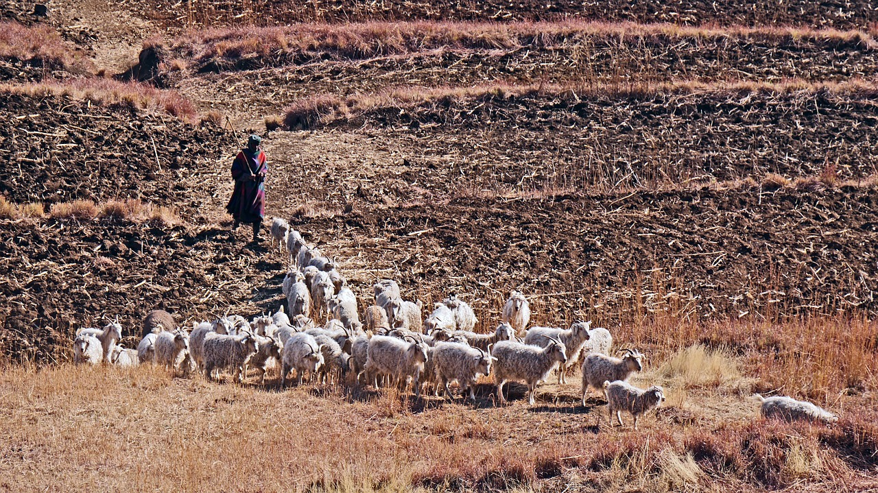 lesotho goats agriculture free photo