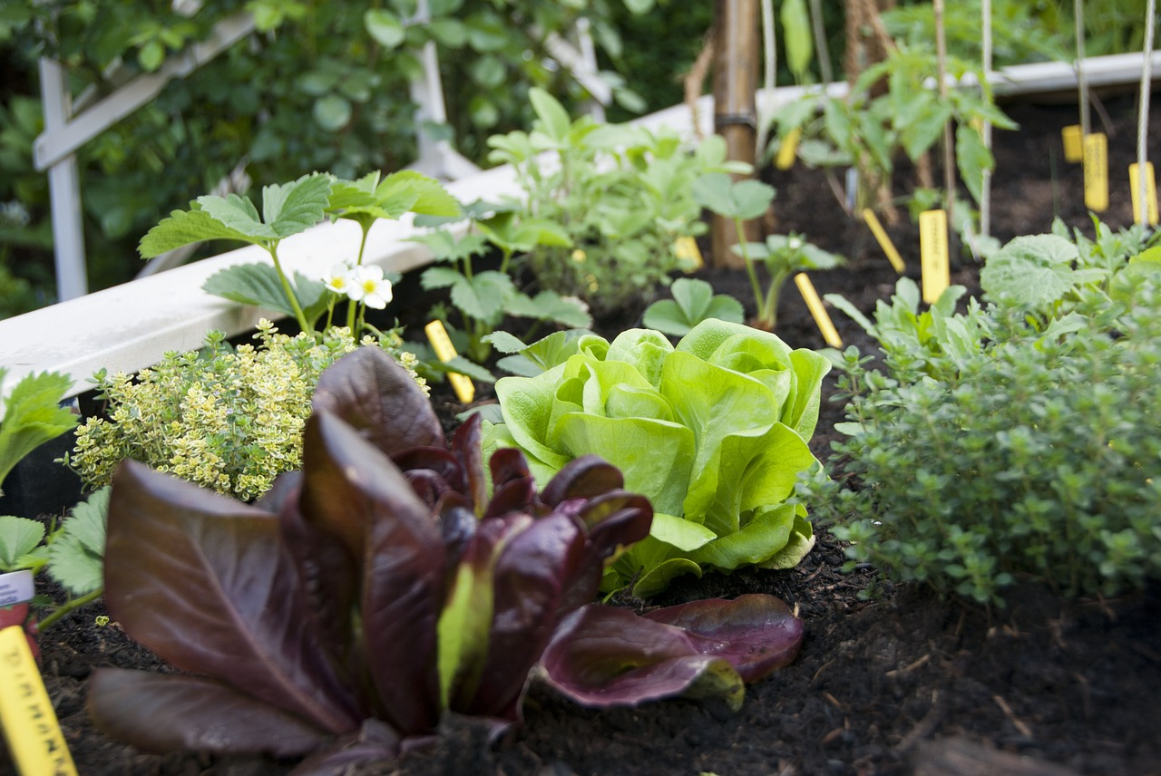 lettuce city garden vegetable free photo