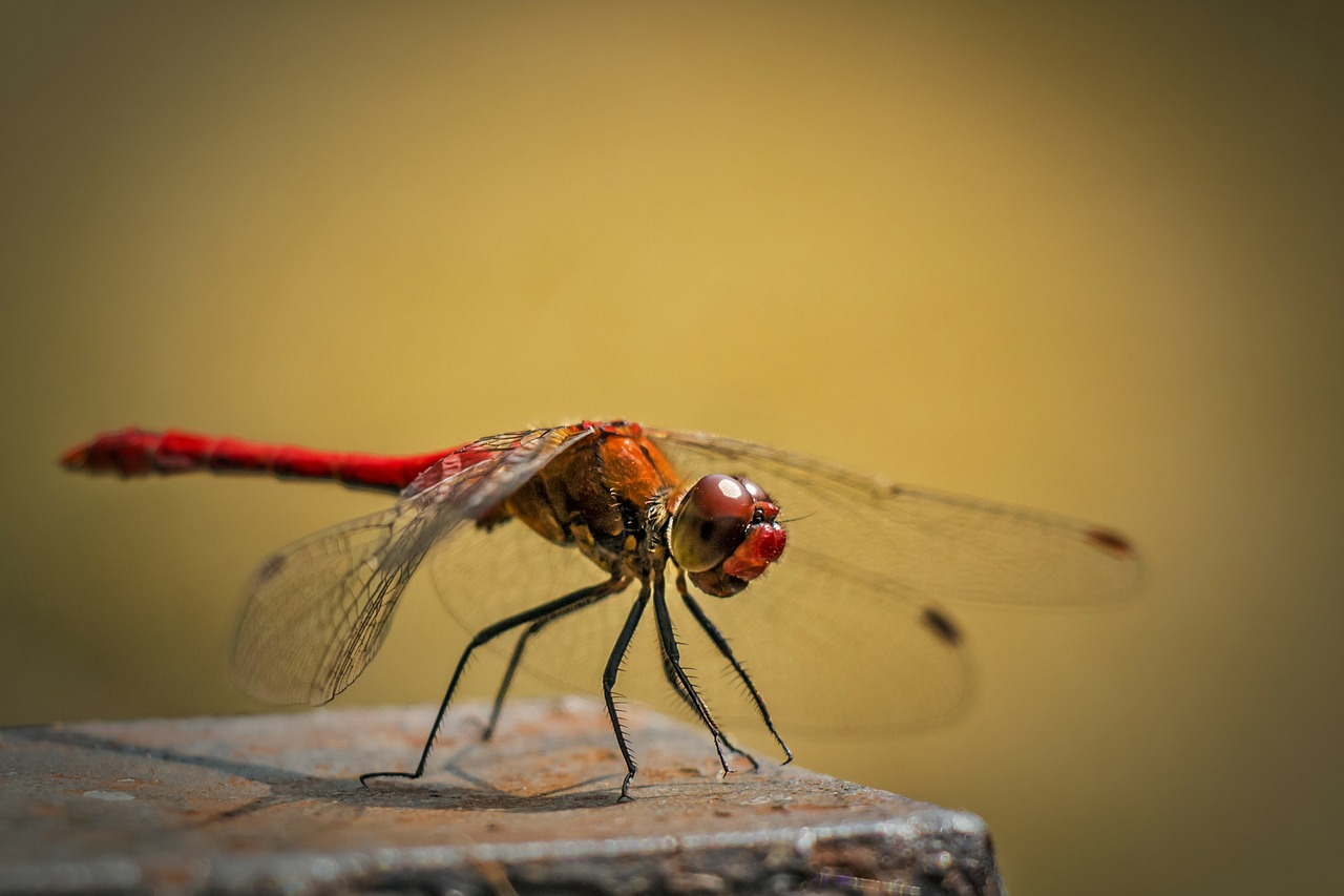 sympetrum vulgatum ordinary dragonfly red dragonfly free photo