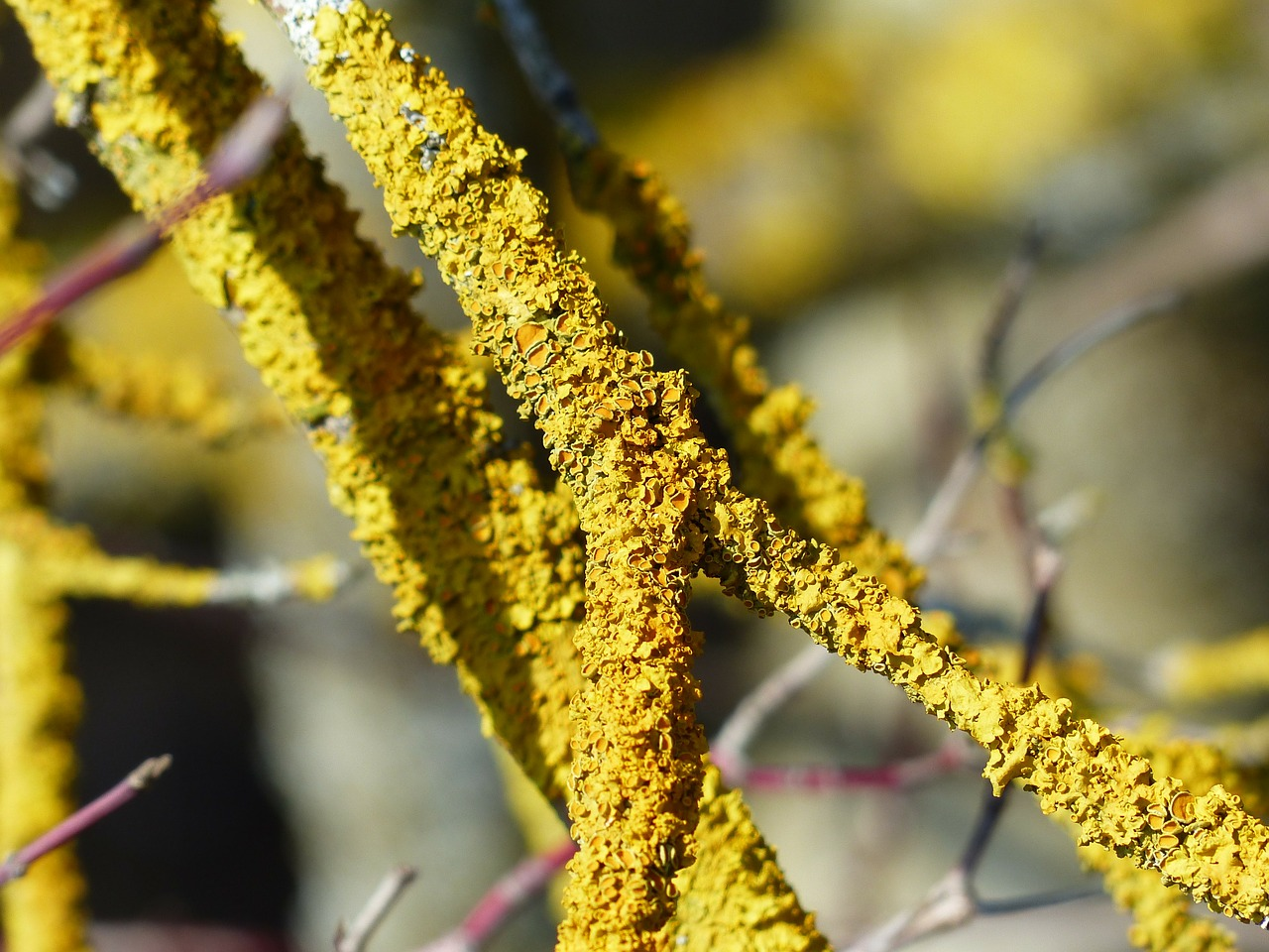 lichen ordinary gelbflechte branch free photo