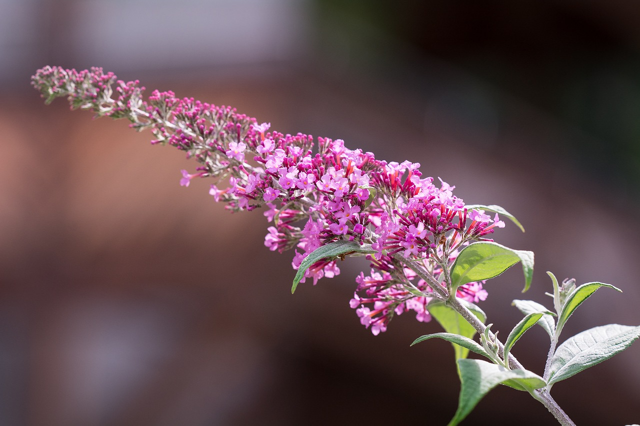 lilac summer lilac butterfly bush free photo