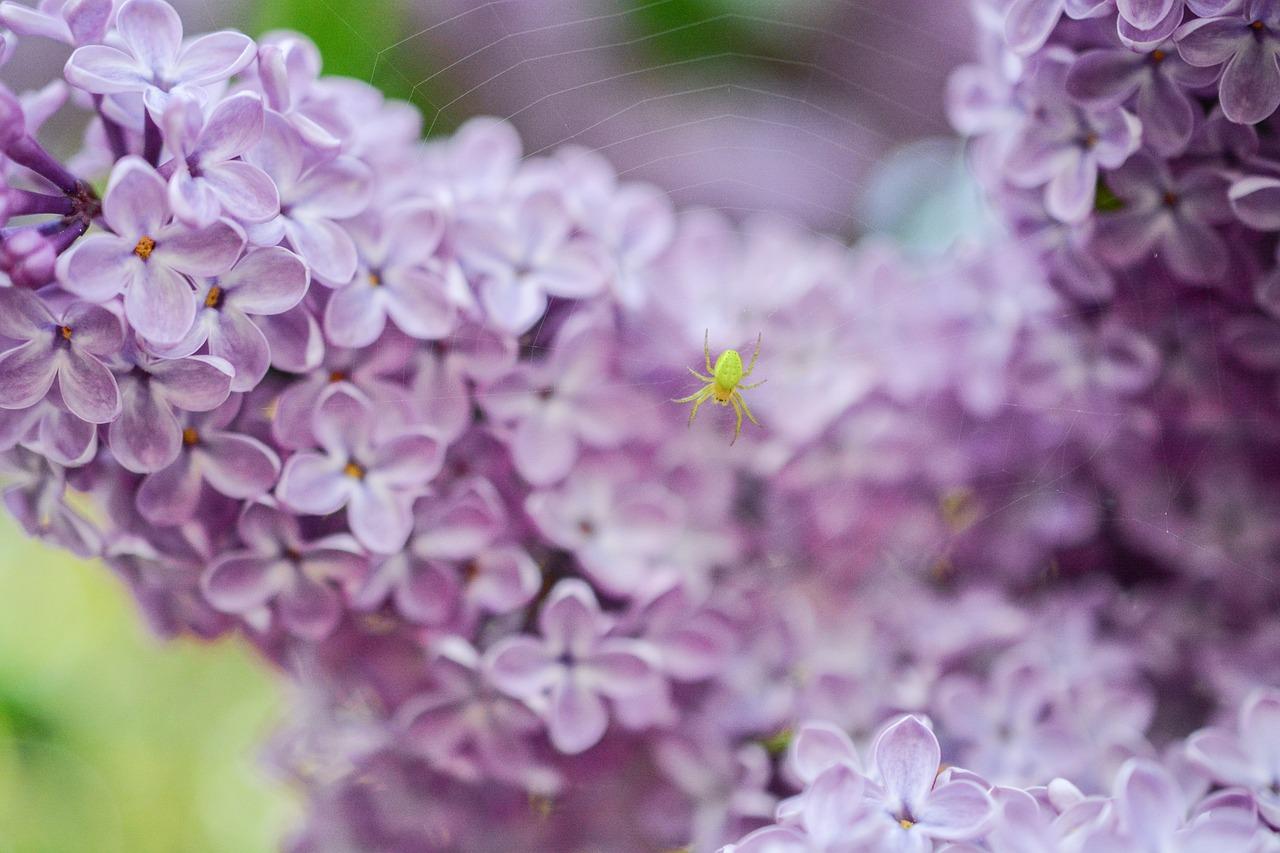Lilacpinkpurplespiderweb Free Photo From Needpix