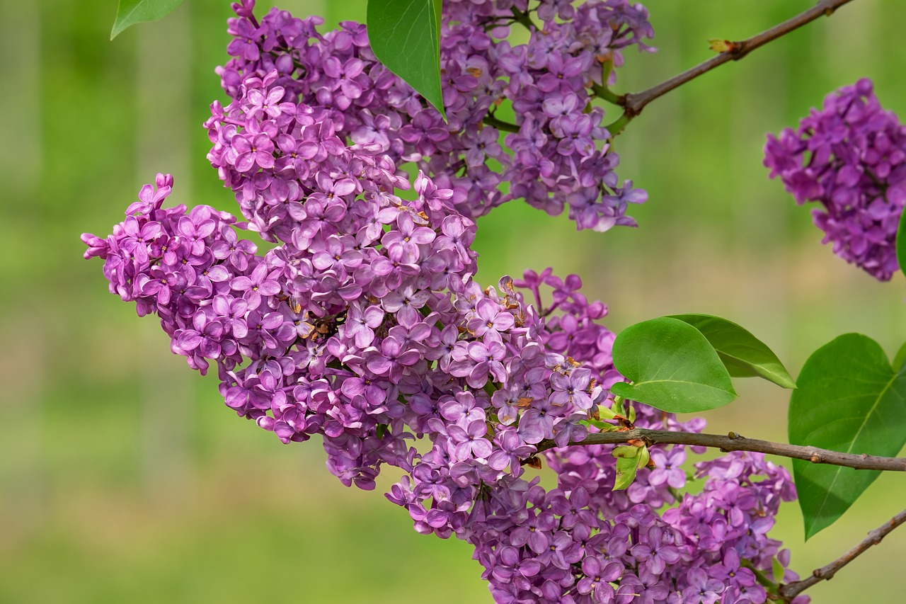 lilac  lilac flower  bloom free photo