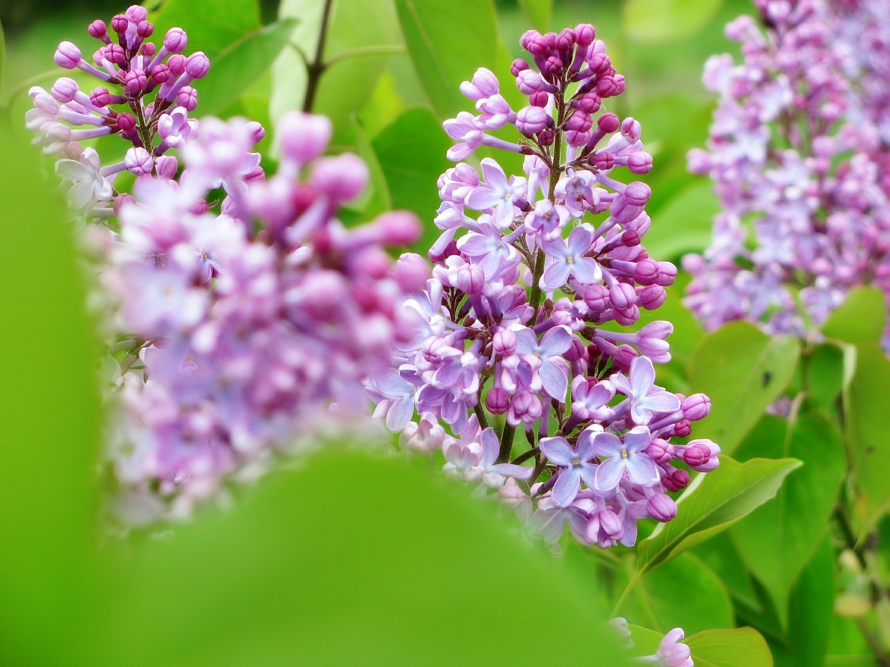 lilac colors blossom free photo