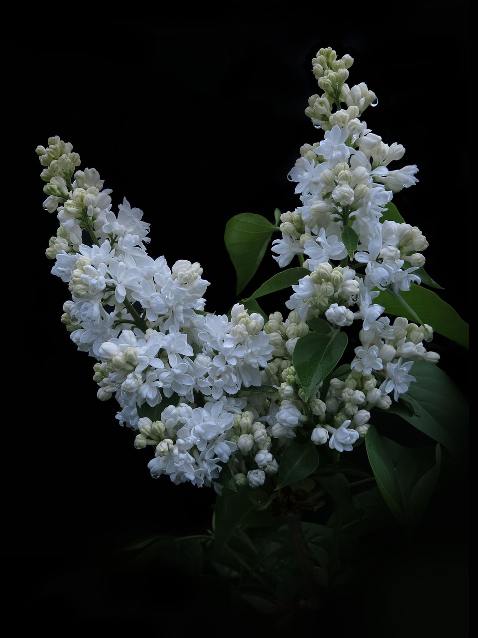 lilac  white lilac  flowers free photo