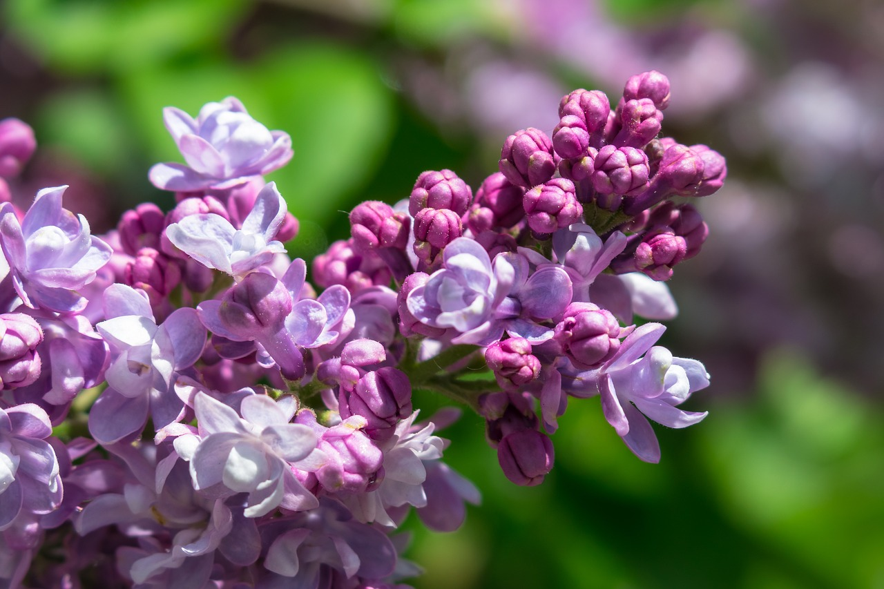 lilac  purple  flowers free photo