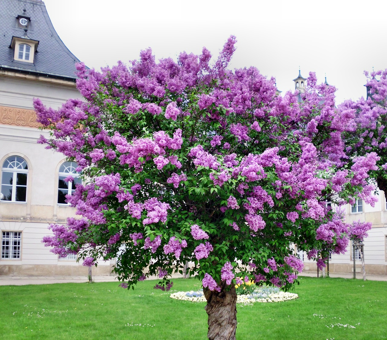 lilac tree common lilac free photo