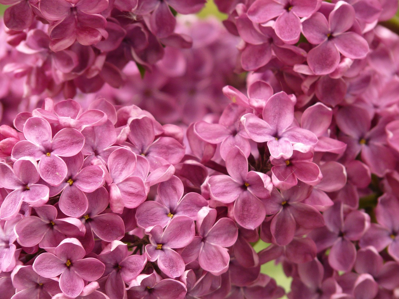 lilac common lilac ornamental shrub free photo