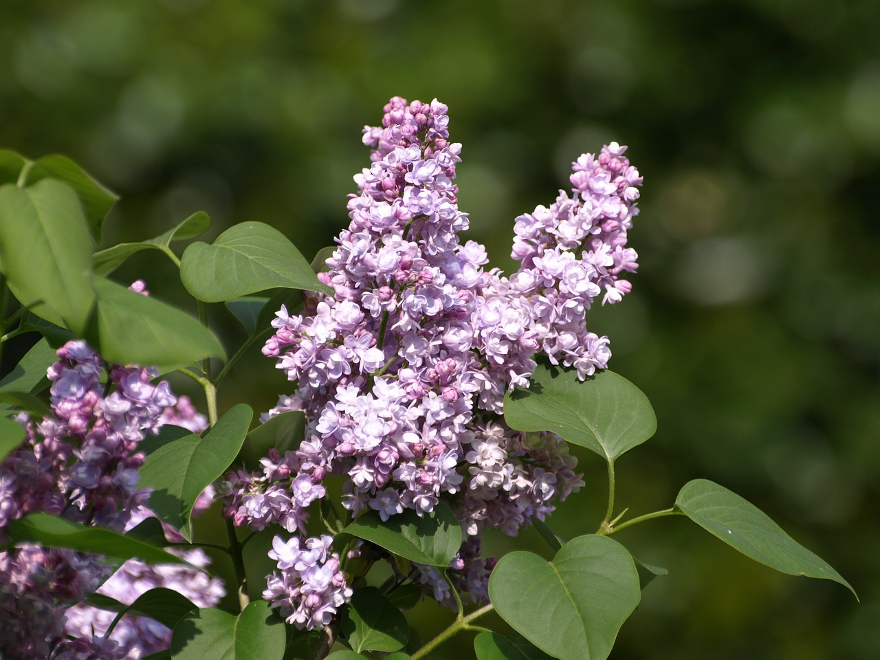 lilac flower purple lilac free photo