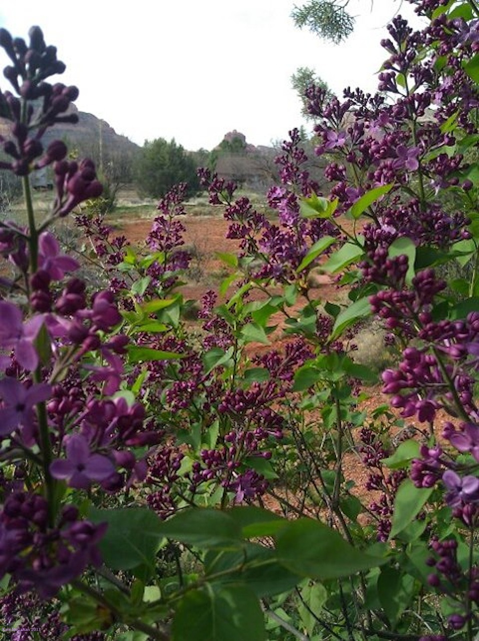 lilacs sedona bell rock free photo