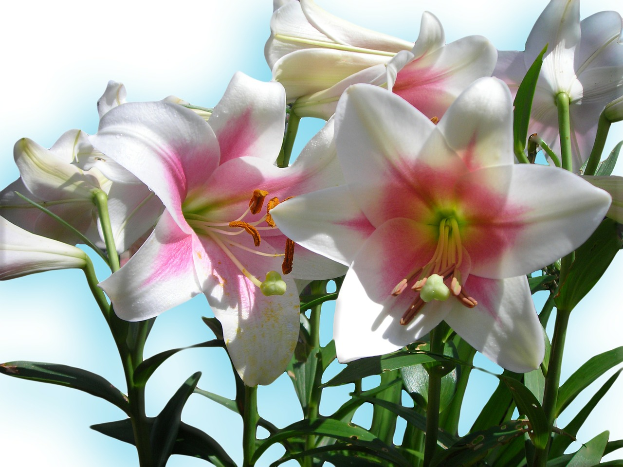 lilies blue sky blue free photo