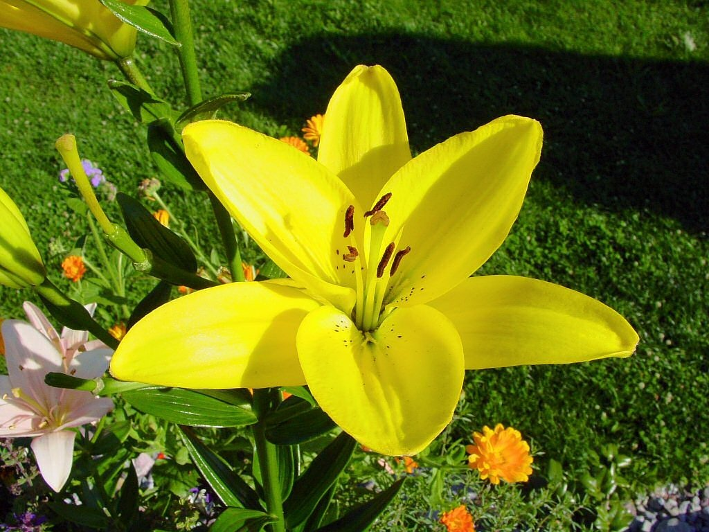lily flower blossom free photo