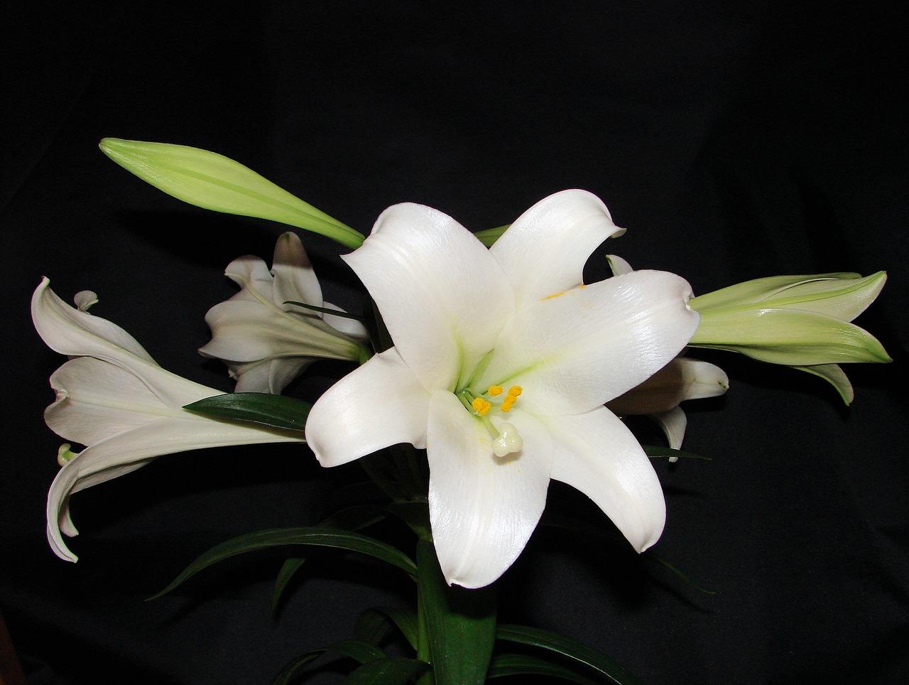 Lilyflowerspringfloralblossom free photo from needpix lilyflowerspringfloralblossomplantseasonnature izmirmasajfo