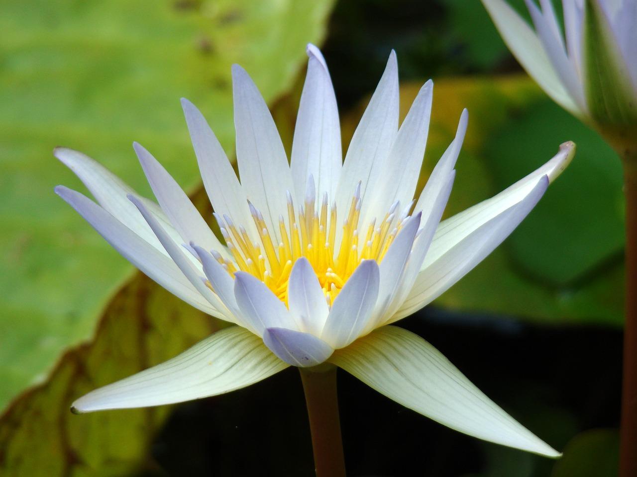 Lilyflowerlilieswater Lilyplant Free Photo From Needpix