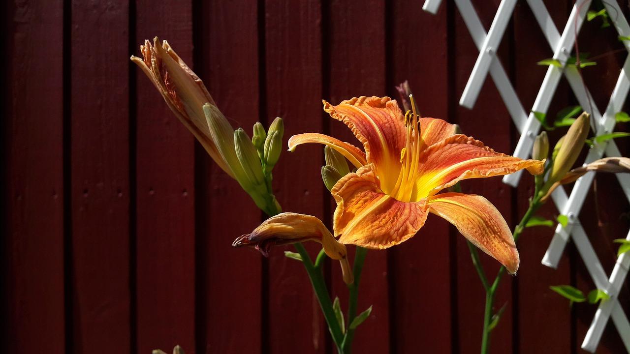 Lilyorangeorange Lilyflowerssummer Free Photo From Needpix