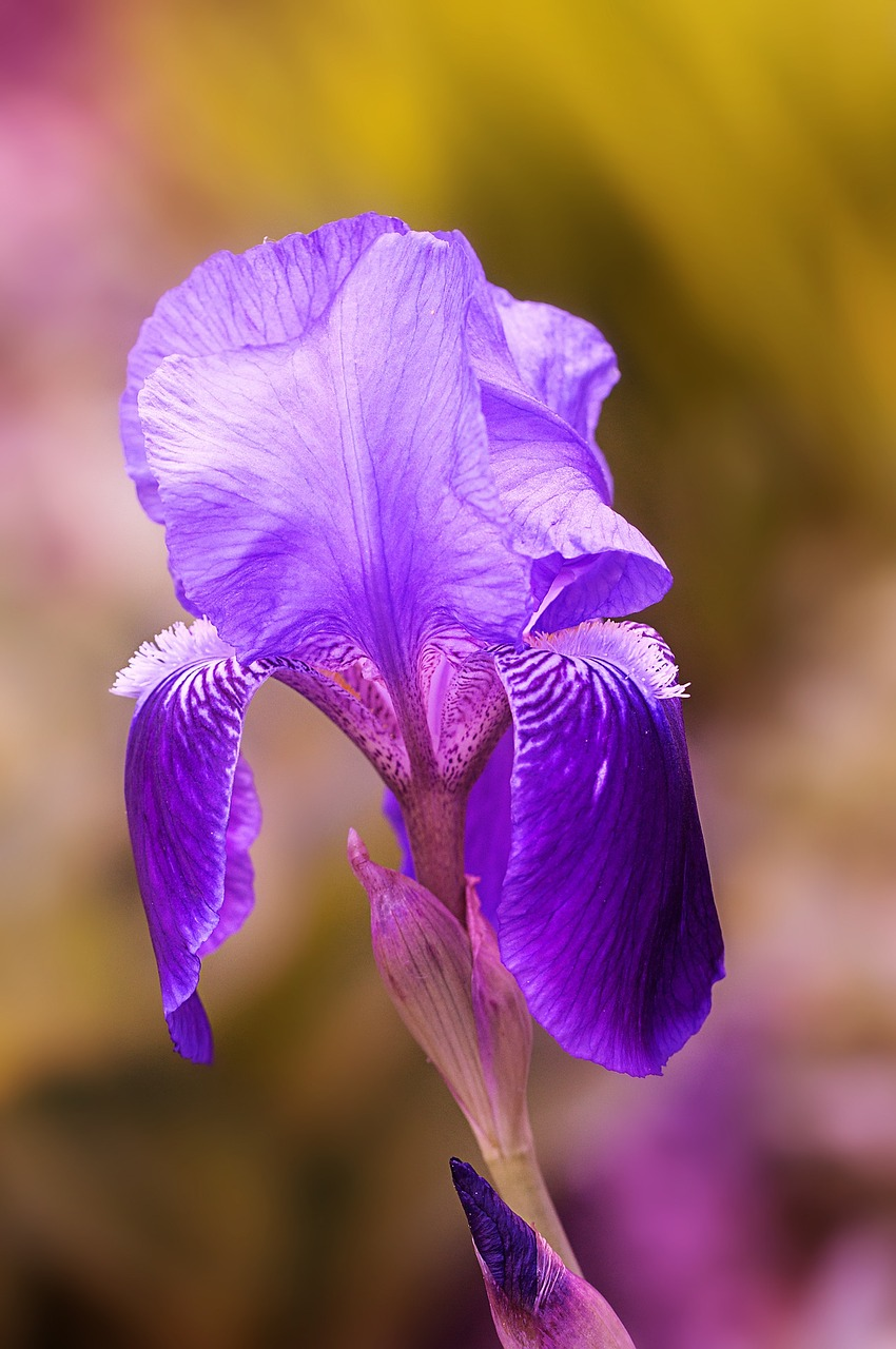 iris flower blue-purple free photo