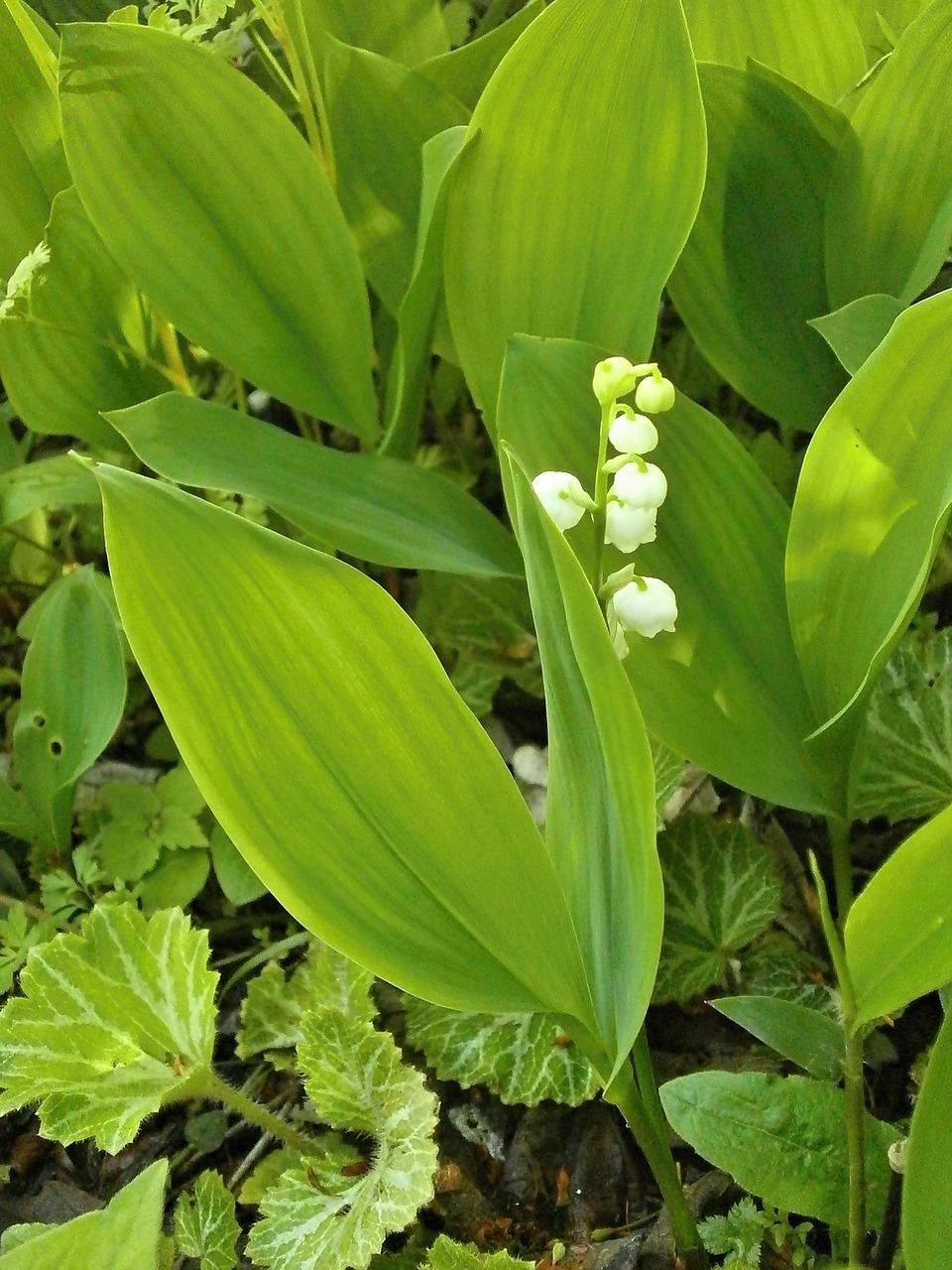 Lily Of The Valleyspring Flowerswhite Flowersperennialsfree