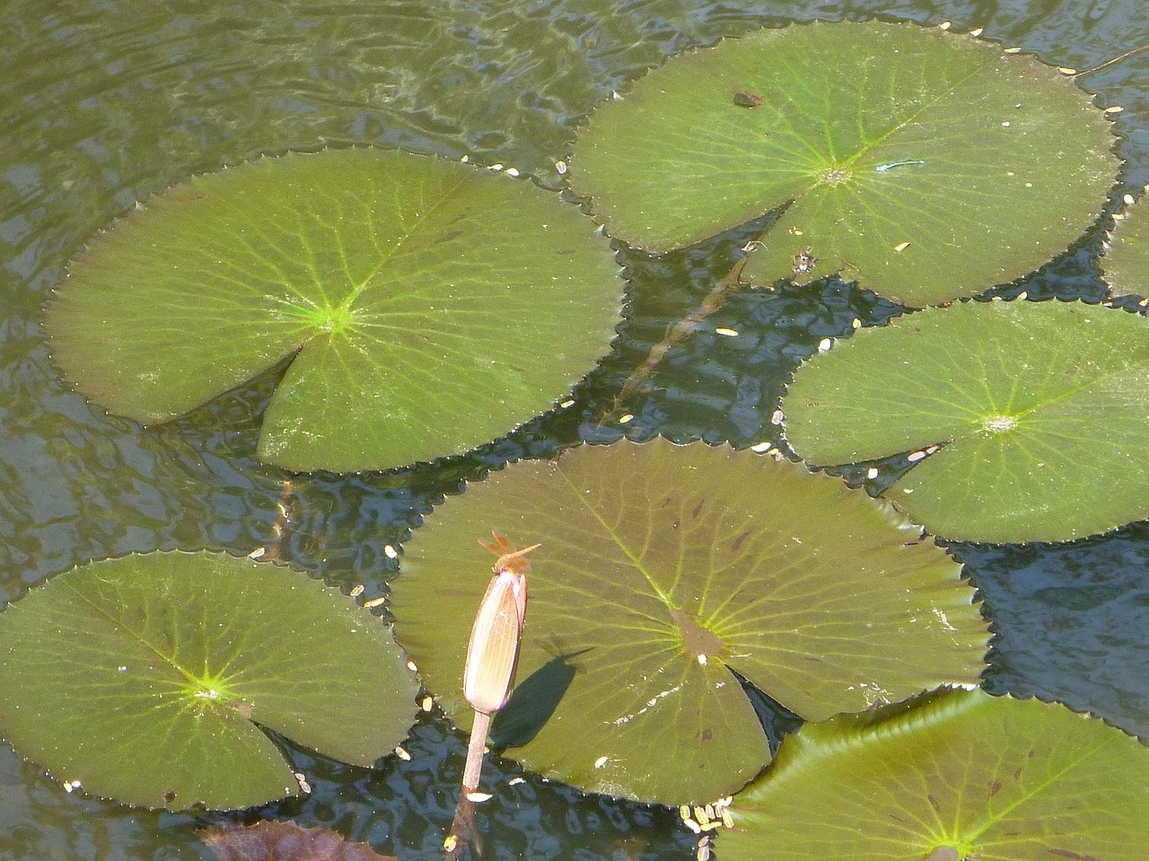 lily pads lotus leaves free photo