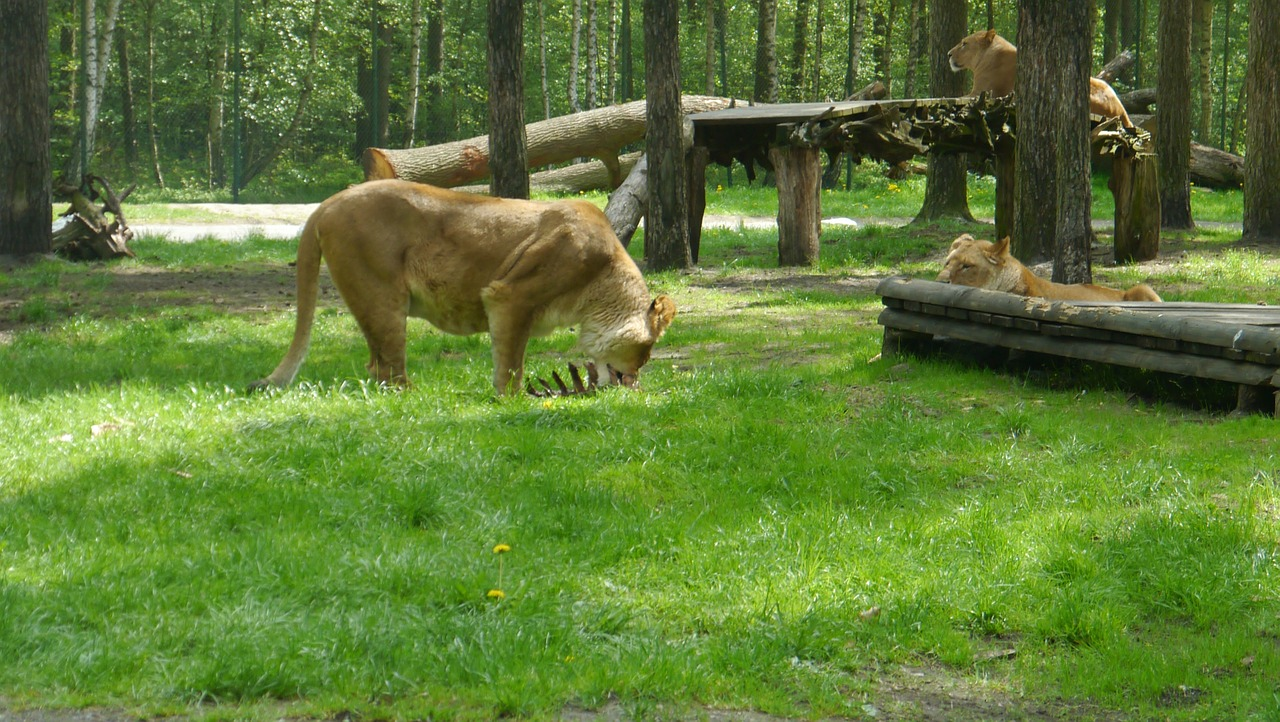 lion africa eat free photo
