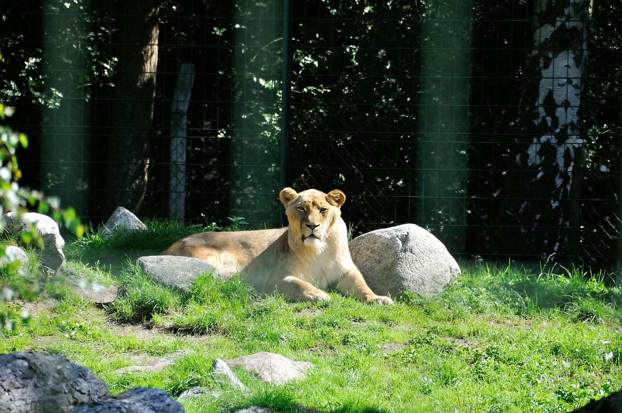 lion wild zoo free photo