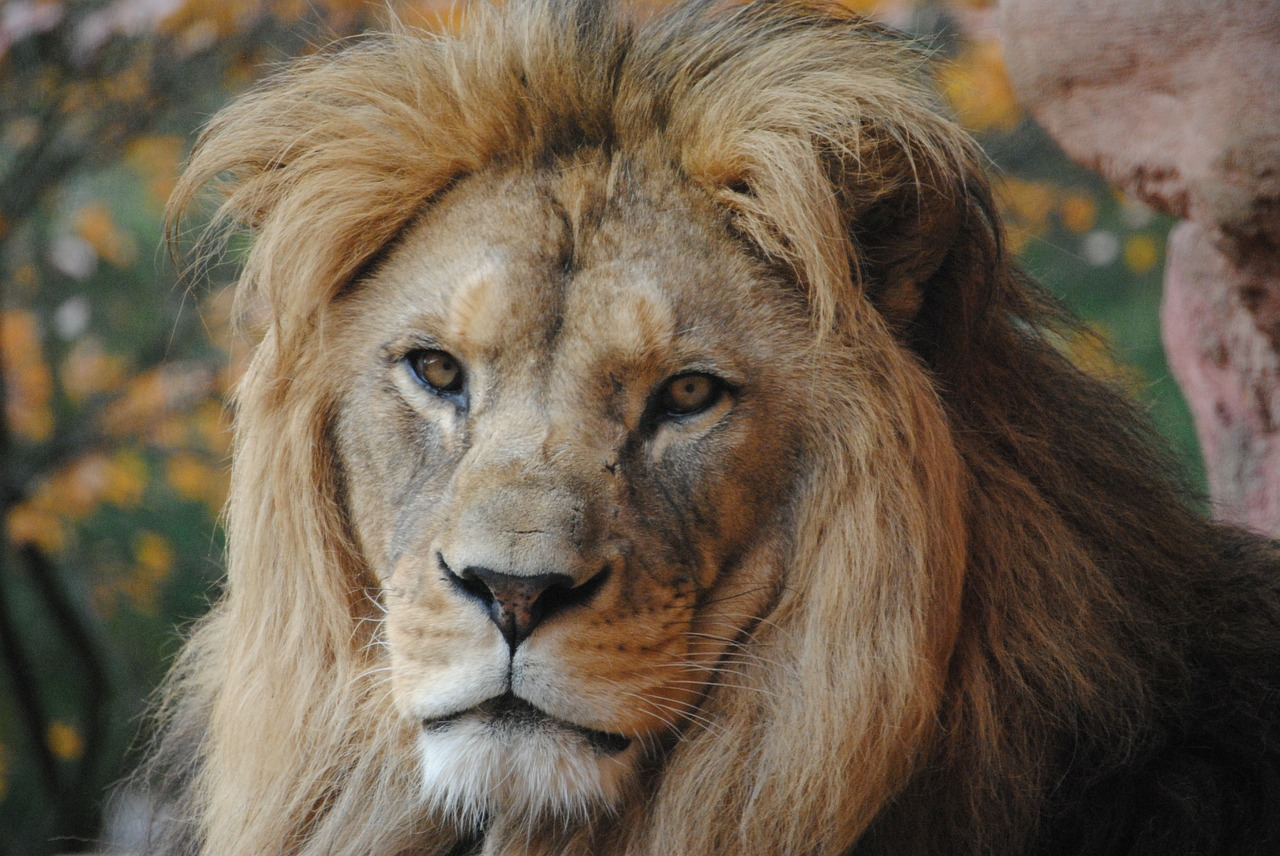 lion wild animal zoo free photo