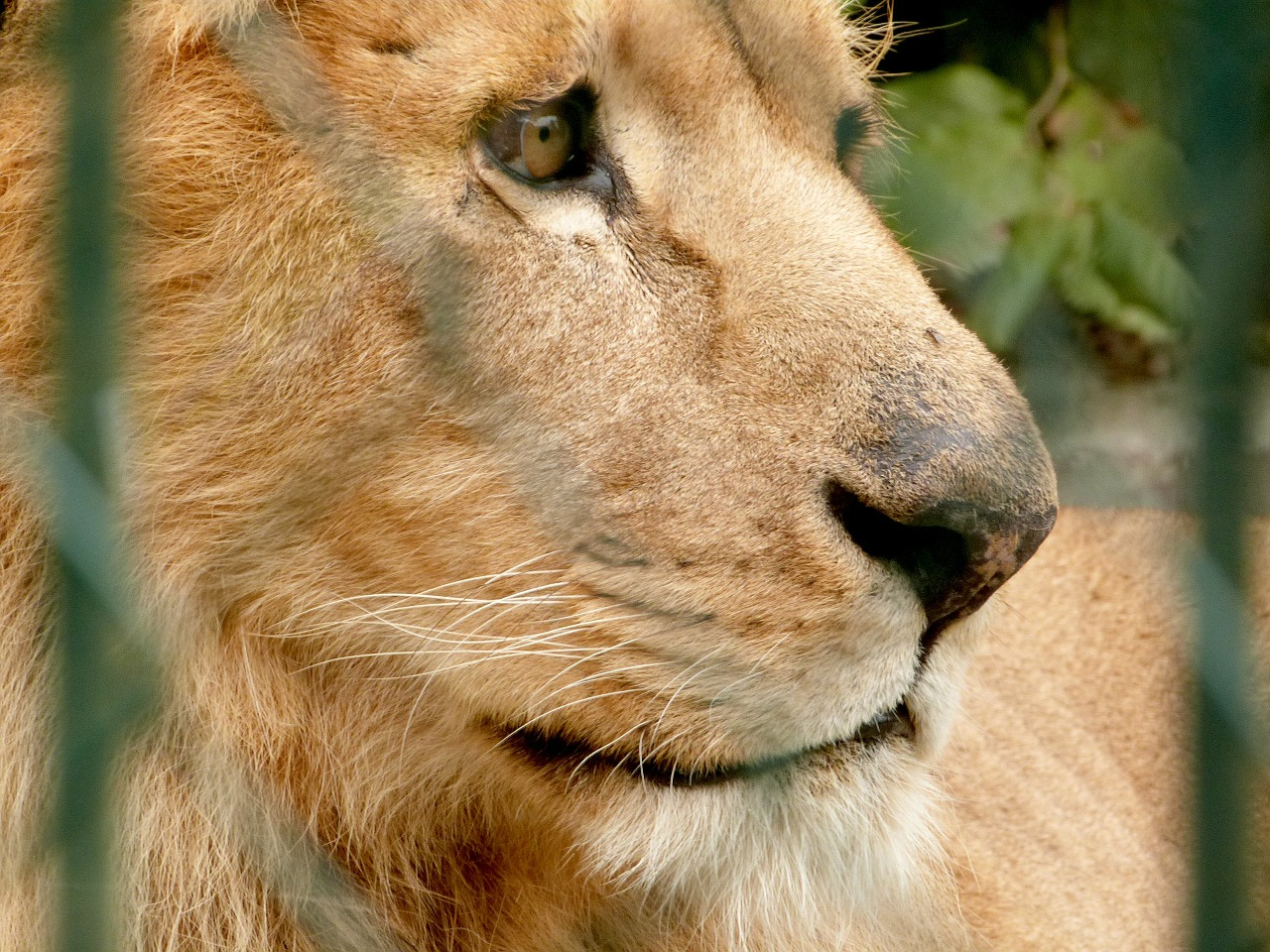 lion zoo big cat free photo