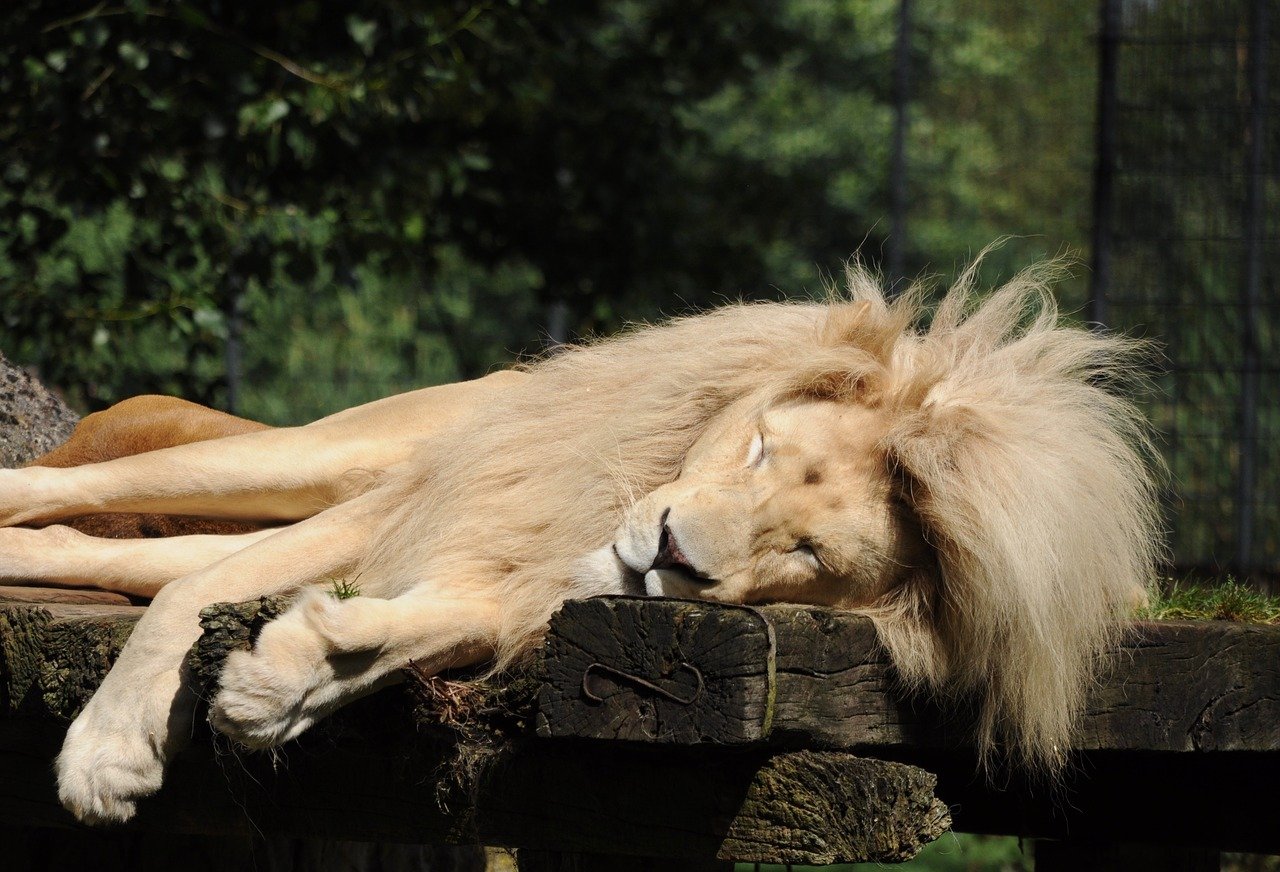 lion zoo cloppenburg sleeping free photo