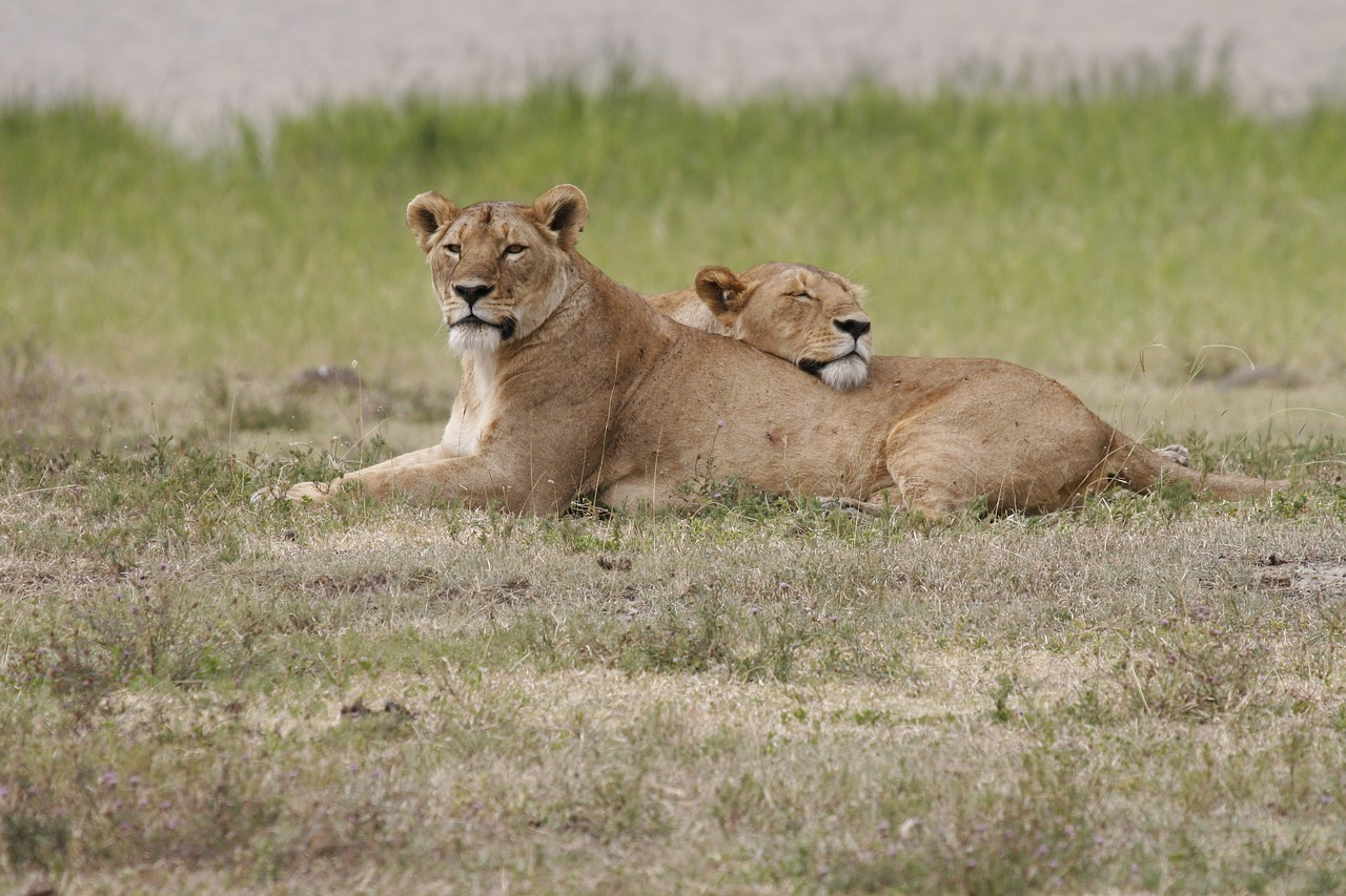 lion  lioness  lionesses free photo