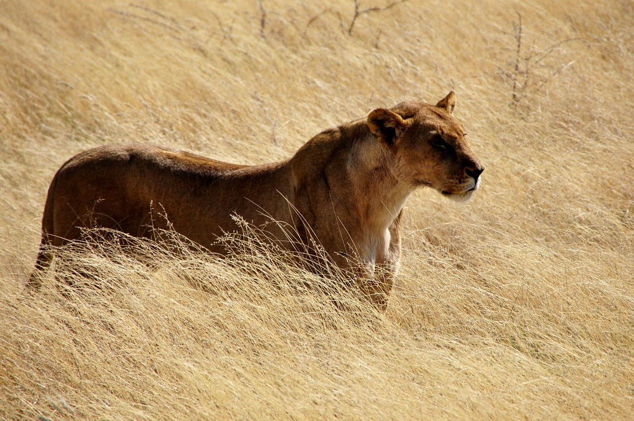 lion lioness wild free picture