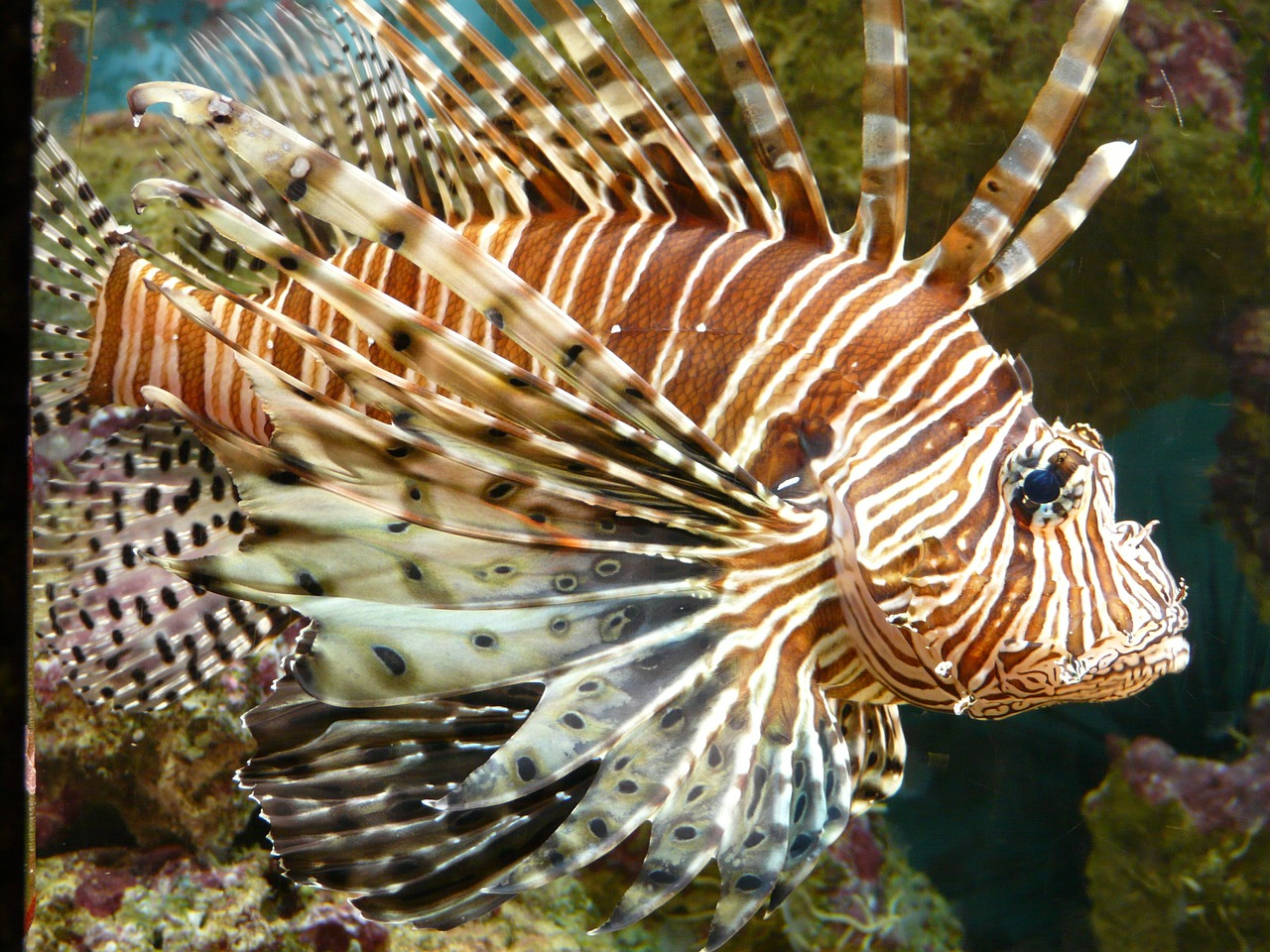 lionfish fish pacific rotfeuerfisch free photo